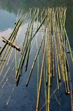 Bamboo on the river. Bamboo on the water Royalty Free Stock Photos