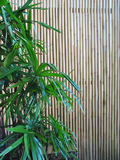 Bamboo sceen. Bamboo leaves in foreground against a bamboo screen background royalty free stock image