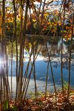 Bamboo Screened Pond. A large calm pond that is screened by some tall bamboo grass lit by afternoon sunshine in autumn Stock Photos