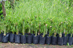 Bamboo seedling Stock Photo