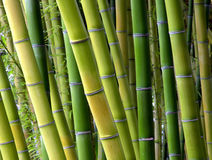 Bamboo Shades. Stalks of bamboo in a botannical garden Royalty Free Stock Photography