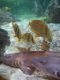 Bamboo Sharks and Fish. Two bamboo sharks with fish swimming near them Stock Images