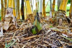 Bamboo Shoot. And yellow bamboo, taken in Largo botanic garden, Florida Royalty Free Stock Photography