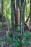 Bamboo shoot or bamboo sprout Royalty Free Stock Photography
