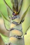 Bamboo shoot. Close up of  bamboo shoot Royalty Free Stock Images
