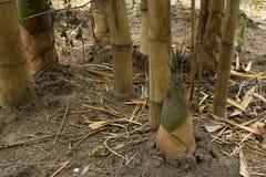 Bamboo shoot. Close up of growing bamboo shoot Royalty Free Stock Image