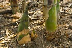 Bamboo shoot. Close up of growing bamboo shoot Royalty Free Stock Photography