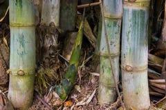 Bamboo shoot growing on the soil. In backyard garden Stock Photos