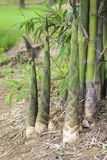 Bamboo shoot Royalty Free Stock Image