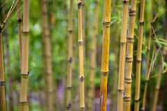 Bamboo shoots Royalty Free Stock Photography