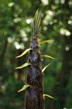 Bamboo shoots stock photos