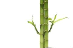 Bamboo shoots Royalty Free Stock Photo