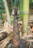 Bamboo shoots in the bamboo forest Stock Images