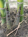 Bamboo shoots or bamboo sprouts Stock Image