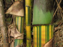 Bamboo Shoots 3. This closeup of the stalks of giant bamboo plants were surprisingly colorful Royalty Free Stock Image