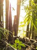 Bamboo shoots in bamboo clumps. Bamboo shoots clumps natuer background forest tree green growth leaf tripical natural asia branch bright environment fresh royalty free stock image