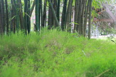 Bamboo shoots Stock Photo