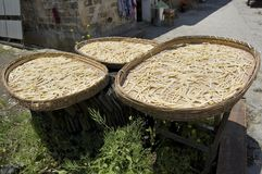 Bamboo shoots drying at Hongcun. Bamboo shoots spread out to dry at the world heritage town of Hongcun Stock Images