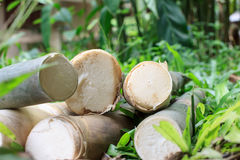 Bamboo shoots Royalty Free Stock Images