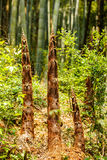 Bamboo shoots grow in bamboo forests Royalty Free Stock Image