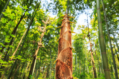 Bamboo shoots of the growth in the forest Stock Photography