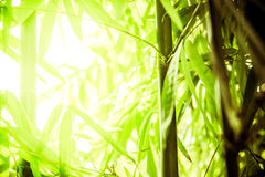 Bamboo shoots Stock Image