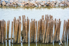 Bamboo shore erosion along the waves of the sea. Royalty Free Stock Images