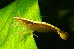 Bamboo shrimp Royalty Free Stock Image