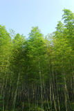 Bamboo and sky Royalty Free Stock Photography