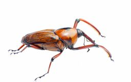 Bamboo snout beetle Stock Image