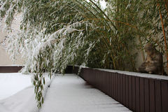 Bamboo in the snow Stock Photos