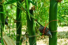 Bamboo species propagation by cutting.,BAMBUSA BEECHEYANA MUNRO. BEECHEY BAMBOO, SILKBALL stock image