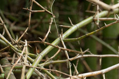 Bamboo spine Royalty Free Stock Photography