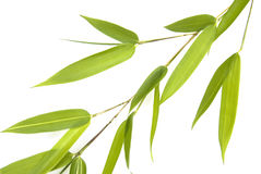 Bamboo sprig  - detail isolated Royalty Free Stock Image