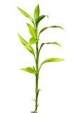 Bamboo sprout Royalty Free Stock Images