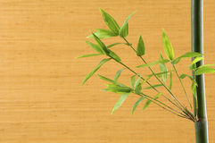 Bamboo sprout Royalty Free Stock Image