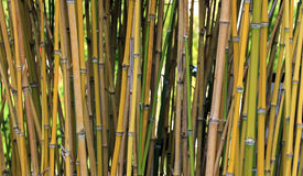 Bamboo sprouts forest Stock Image