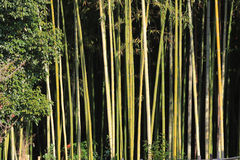 Bamboo sprouts forest Stock Photos