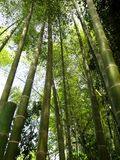 Green bamboo sprouts torest trees nature concept. Bamboo sprouts torest trees. Nature concept stock photo