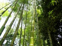Green bamboo sprouts torest trees nature concept. Bamboo sprouts torest trees. Nature concept stock photos