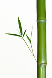 Bamboo stalk. A closeup of a bamboo stalk or shoot with new growth.  White background Royalty Free Stock Image
