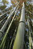 Bamboo Stalk Stock Images