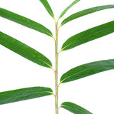 Bamboo stalk and leaves with rain drops isolated on white Royalty Free Stock Images