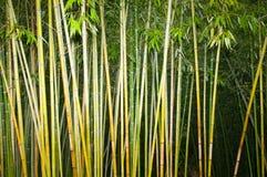 Bamboo stalks Royalty Free Stock Photography