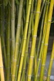 Bamboo Stalks. Yellow and green bamboo stalks Royalty Free Stock Photography