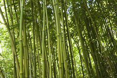 Bamboo Stalks Stock Photography