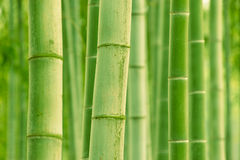 Bamboo stalks Royalty Free Stock Photo