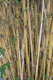 Bamboo Stalks Background. Background of yellow bamboo stalks with leaves Stock Photography