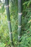 Two bamboo stalks with bamboo forest background royalty free stock images