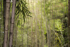 Bamboo Stalks Royalty Free Stock Image